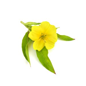 Evening Primrose Oil - Oenothera Biennis