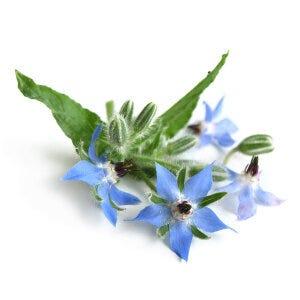 Borage Seed Oil - Borago Officinalis